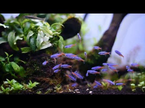 Perindah Aquascapemu Dengan 17 Jenis Ikan Jenis Tetra