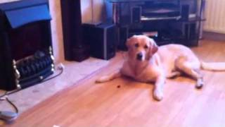 Tilly The Golden Retriever Trying To Eat A Grape Part 2