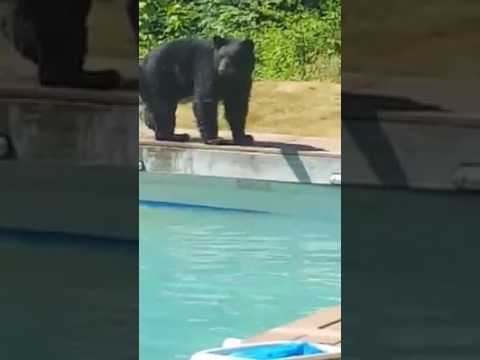 Bear Cools Down With Quick Dip in Pool
