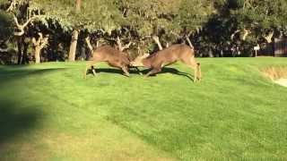 Deer fight at Spyglass Hill Golf Course