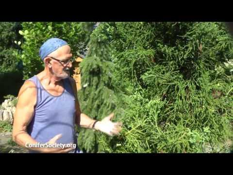 Japanese Cedar -  Cryptomeria Japonica 'Rasen'     American Conifer Society