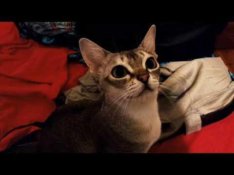 Singapura cat talking