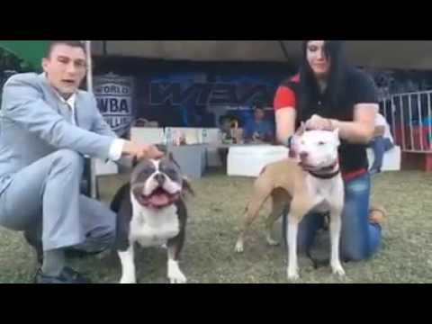 American Bully vs real Pitbull - Real difference
