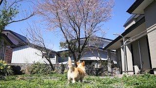 ようやく桜が咲きました。今度こそ本当に春本番です。