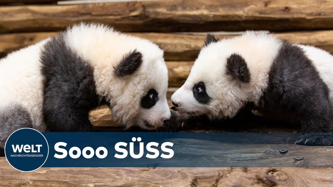 Live Dabei Berliner Zoo Panda Babies Werden Erstmals Besuchern Gezeigt Youtube