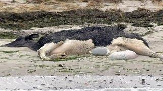 Des cadavres de vaches échoués sur des plages danoises et suédoises