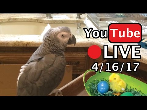 🔴🐦 Einstein the Talking Texan Parrot LIVE! 4/16/17 Happy Easter!