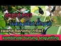 Mp3 Suara Pikat Burung Ribut