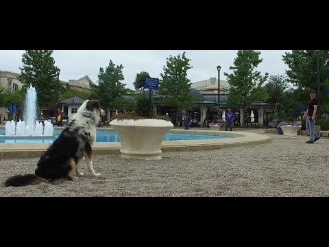 Best Dog Training in Columbus, Ohio! 10 Month Old Australian Shepherd, Guy!