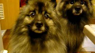 Keeshond   Dog Iq Test  pt.1  action 1