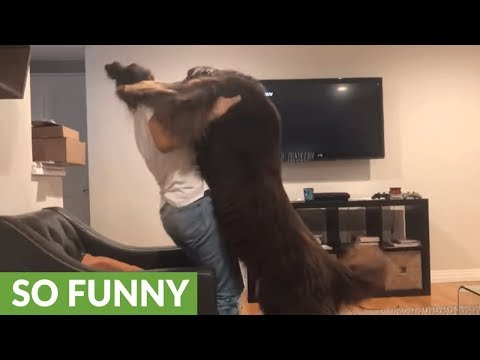 Overly-excited Newfoundland takes down owner