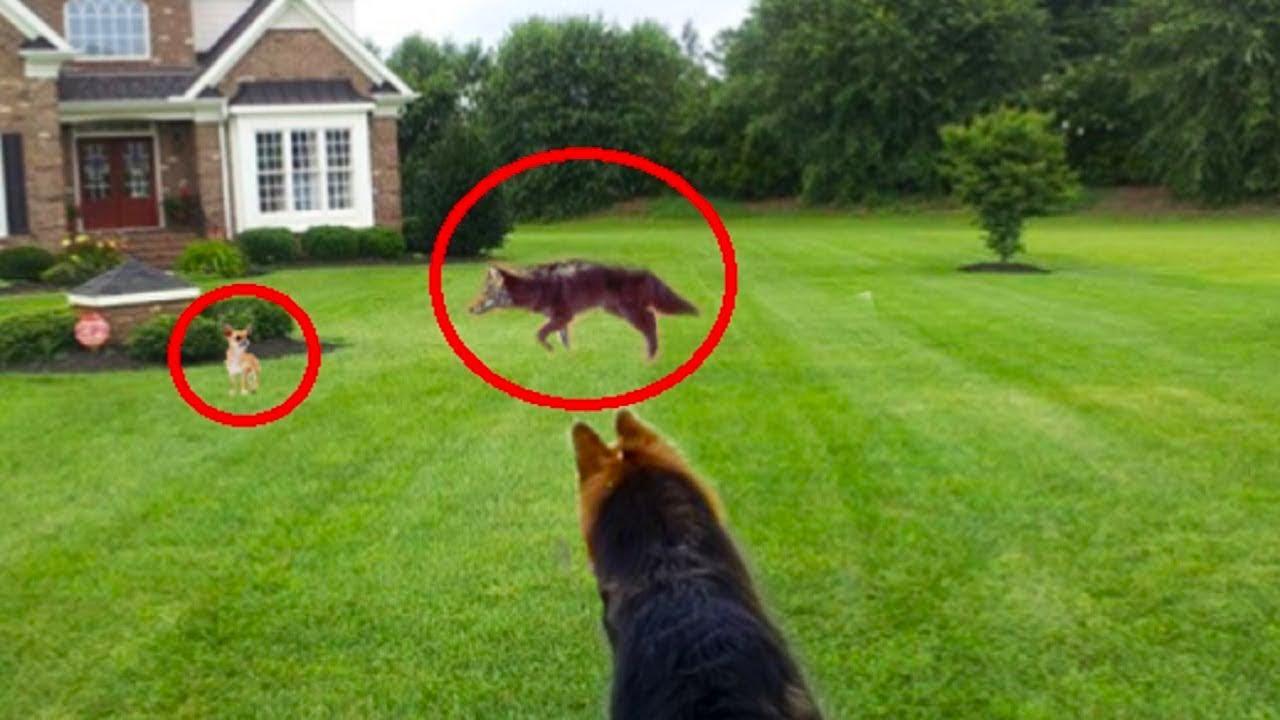 كلب الماني ينقذ كلب شيواوا من ذئب مفترس ، اشجع كلب الماني