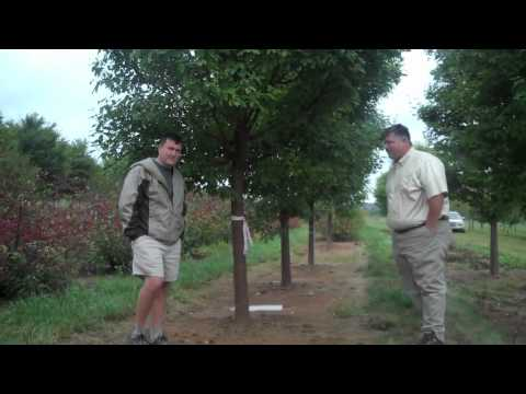 Halls Garden Center Plant Talk - Acer Griseum