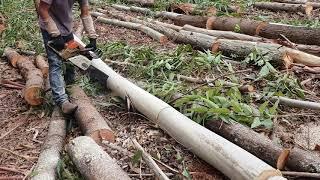 Derrubando e picando eucalipto com moto serra sthil