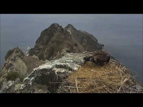 West End Eagle Cam - Mom, Big Fish, & Aria :) - With Instrumental - 7/18/18