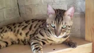 Бенгальские кот и кошка из Санкт-Петербурга - Bengal Cats