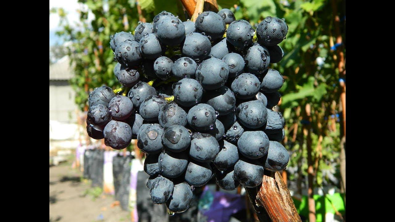 черное лето виноград фото