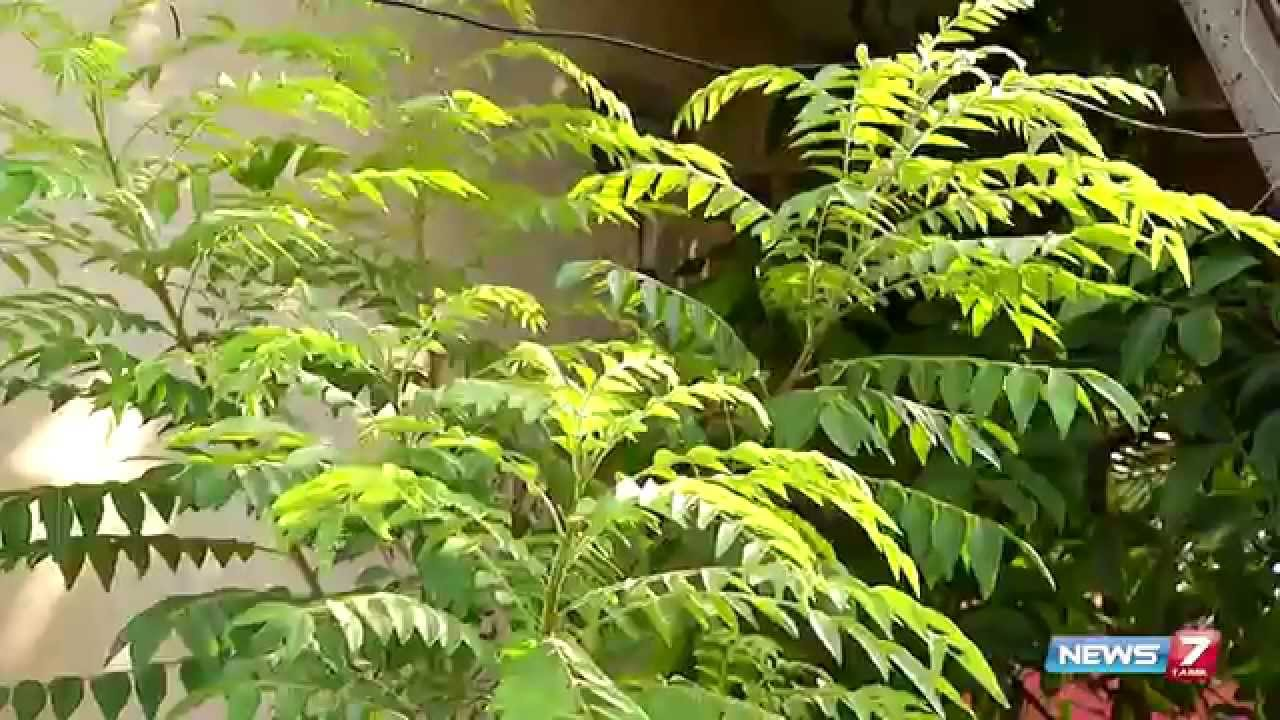 Karuveppilai Curry Leaves Good Medicine To Control Diabetes