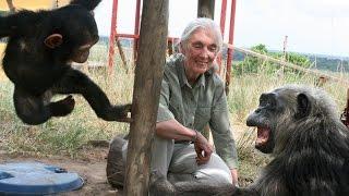 Jane Goodall : Grande nouvelle pour les chimpanzés !