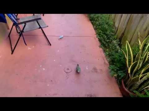 Ho to freefly lovebirds outside