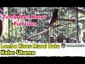 Lomba Kicau Burung Murai Batu Ekor Putih Di Kelas Utama  Mp3 - Mp4 Download
