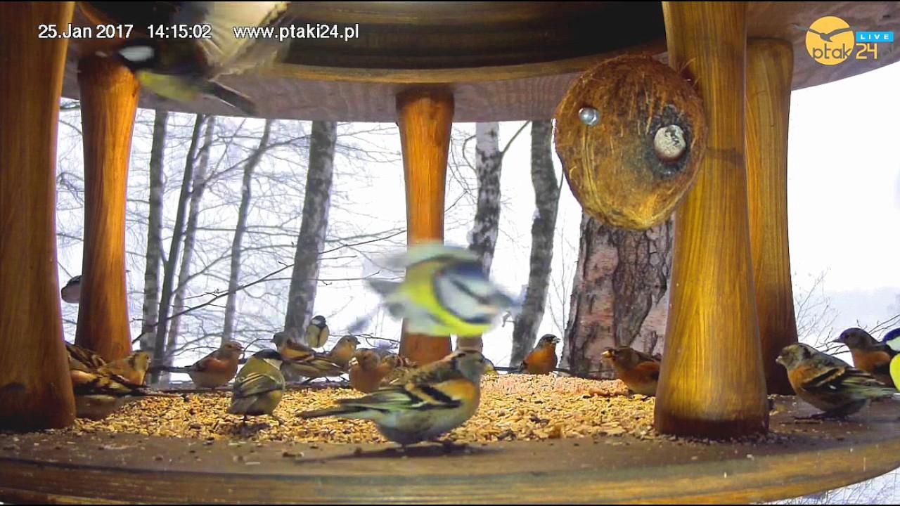 Grubodziób, Jery i Sikorki w karmniku nad Soliną w Bieszczadach