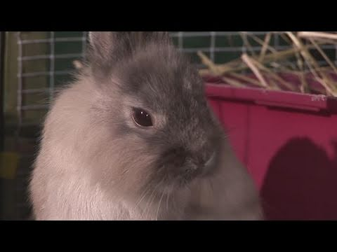 How To Look After For A Lop Rabbits