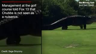 Chubbs the alligator caught roaming Florida golf course again