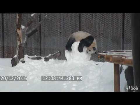 В зоопарке Торонто Панда против снеговика
