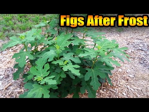 Figs After Frost