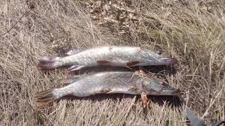 ловля щуки на спиннинг ,рыбалка на щуку Гинеевка