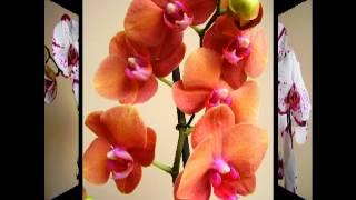 Орхидеи фаленопсисы.Обзор лучших сортов.
