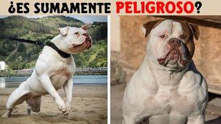 Top 8 Cosas Que No Sabias De Los Perros American Bulldog (Bulldog Americano)