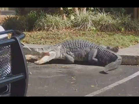 Giant Alligator Hangs Out At Man S Front Door Video Youtube