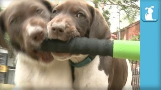 German Shorthair Pointer Puppies Don't Understand Baseball  Puppy Love