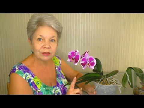 Вопрос: Где у цветка орхидея находится точка роста?