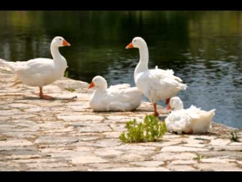 how to take care of a baby pekin duck