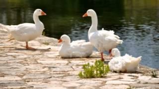 American Pekin Duck Facts - Facts About American Pekin Ducks