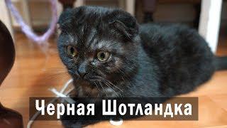 Шотландская вислоухая черная кошка по кличке Пума. Черная шотландка