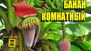 Комнатный банан. Super Dwarf Cavendish.(Комнатный банан сорт Super Dwarf Cavendish. Экзотическое комнатное растение. Особенности выращивания комнатного..., 2016-01-15T05:07:26.000Z)