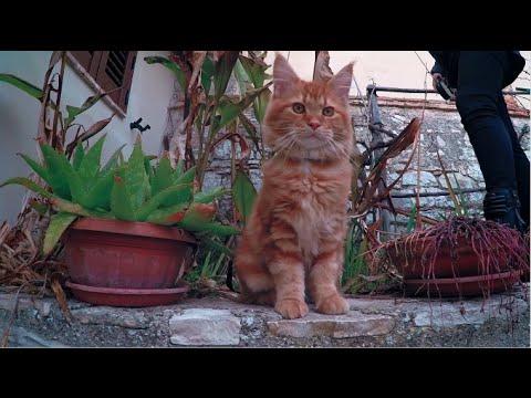 Kitten maine coon on a leash