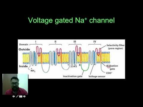 Neuroscience voltage gated Na ion channel