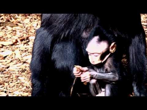 Blue eyed baby monkey born at ZSL London Zoo