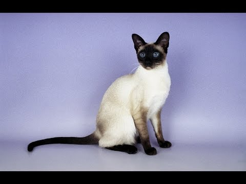 Siamese Cat. Health. Care. Coat Color And Grooming
