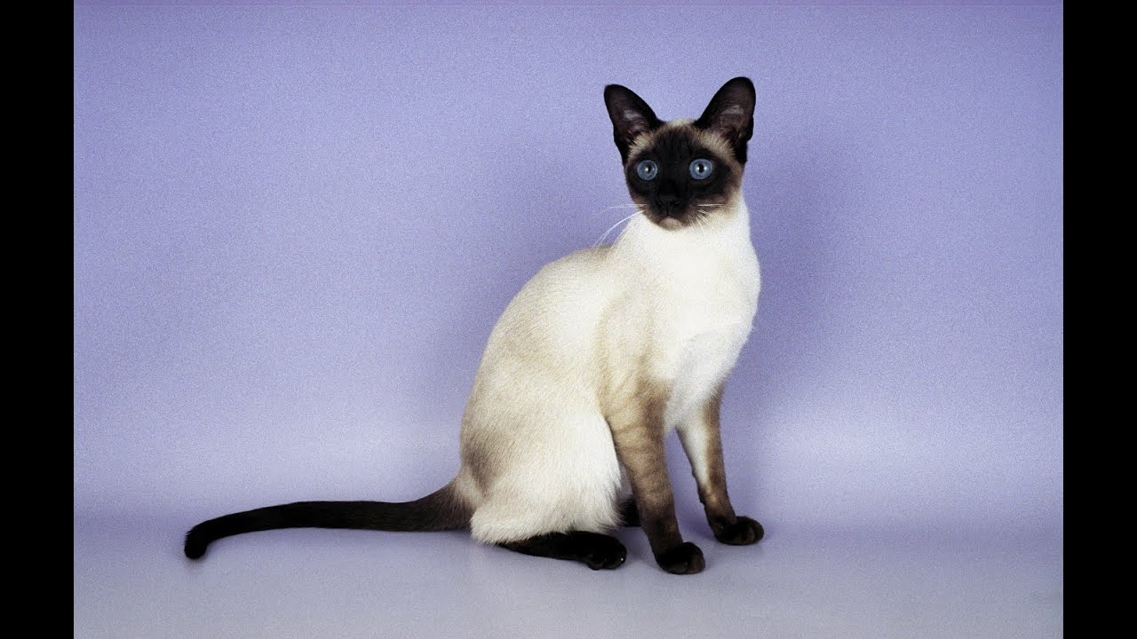 Siamese Cat. Health. Care. Coat Color And Grooming - YouTube