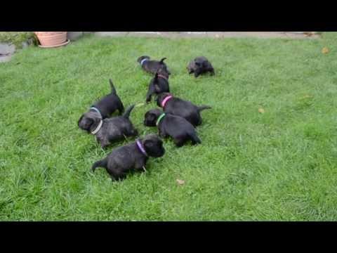 Cairn Terrier Welpen  / Cairn Terrier puppies 'vom Stromerhof'