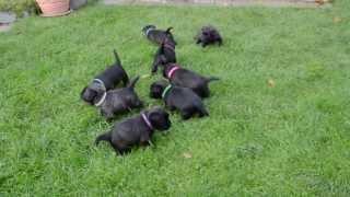 "Cairn Terrier Welpen  / Cairn Terrier Puppies ""vom Stromerhof"""