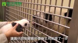 當圓仔與圓圓相會 When Baby Giant Panda Meets Her Mother