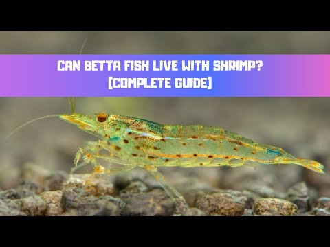Can Betta Fish Live With Shrimp - Complete Guide (Cherry, Amano, Ghost Shrimp)
