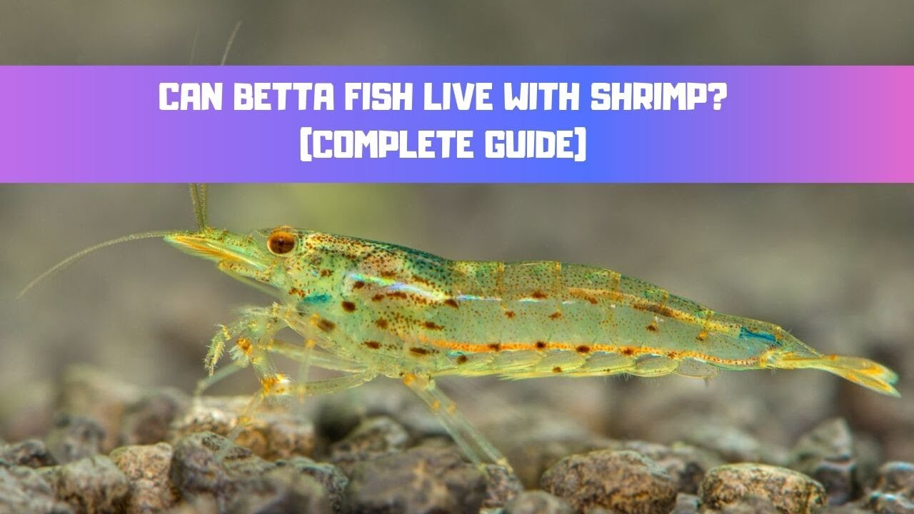 Can Betta Fish Live With Shrimp? - Betta Care Fish Guide